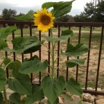 The Sunflower Effect